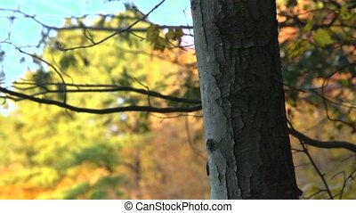 fall tree bark - A tree trunk in the foreground contrasts...