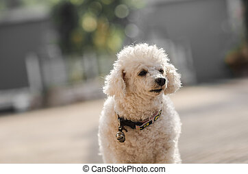 A little poodle dog - A little toy poodle dog in the morning...