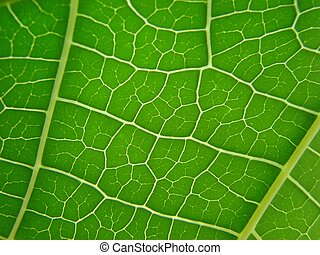 leaf macro lines - close up shot from a banana leaf green...