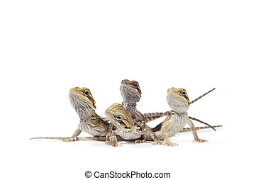 Baby Bearded Dragons on white background