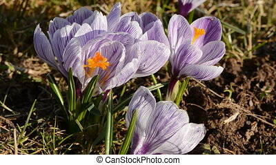 early spring crocus blossoms and wind