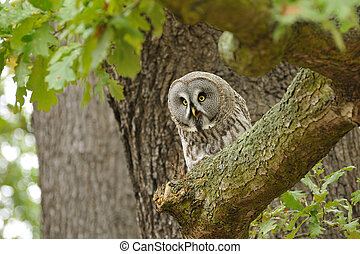 Great Grey Owl - The Great Grey Owl or norge Owl, Strix...