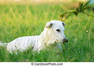 white dog - Single white dog in the grass field.