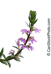 Purple Loosestrife Flower - Purple loosestrife flowers...