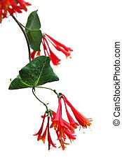 Trumpet Honeysuckle flower isolated over a white background