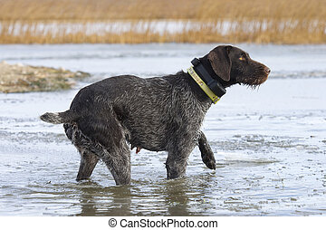 Duck Hunting Dog - Dog about to enter the icy waters to...