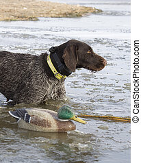 Duck Hunting - Dog about ot fetch a duck in the icy waters