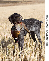 Dog and Pheasant - Hunting dog and Pheasant