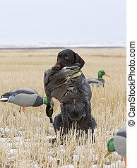 Duck Hunting - Duck hunt in a North Dakota Field