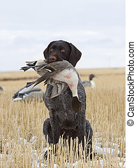 Duck Hunting - Hunting Dog with a Drake Pintail