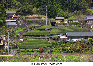 Tea fields in Japan - Japan - rural view in Gifu prefecture....