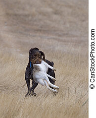 Hunting Dog with a Rabbit - Hunting Dog with a rabbit