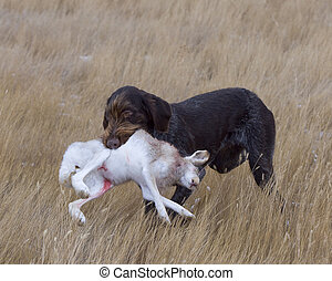 Rabbit Hunting - Dog retrieving a Rabbit