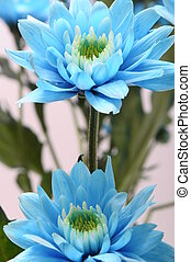 Close up of blue flowers - Macro of blue flower on light...
