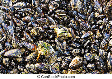 Mussel Shellfish Grow in Clusters - A large group of mussels...
