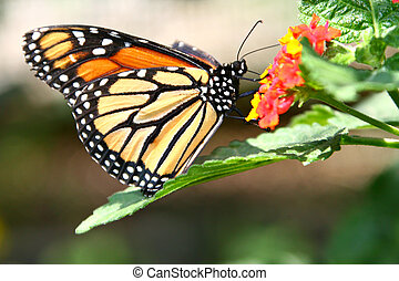 Summertime Monarch Butterfly on a Lantana Flower - Monarch...