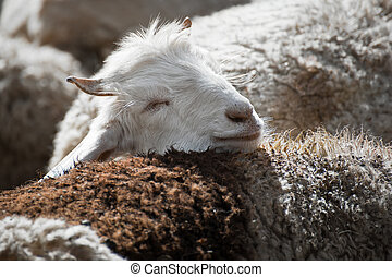 White kashmir (pashmina) goat from Indian highland farm in...
