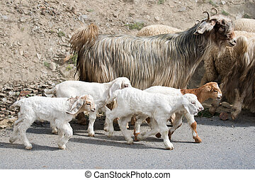 Kids goat and kashmir (pashmina) goats from Indian highland...