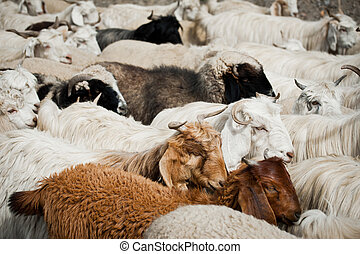 Herd of sheep and kashmir pashmina goats from Indian...