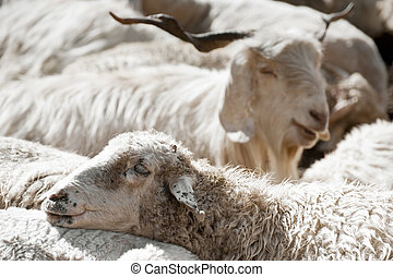 Sheep and white kashmir (pashmina) goat from Indian highland...