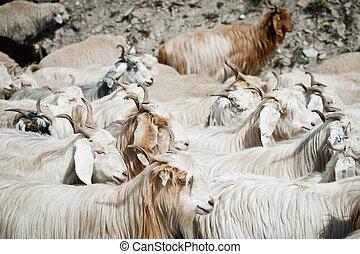 Herd of kashmir (pashmina) goats from Indian highland farm...
