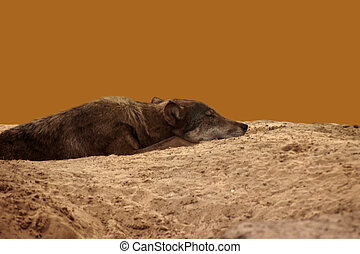 The wolf - A wolf lies in a sandy pit and rests...