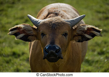 Head on image of a congo buffalo - Close up Head on image of...