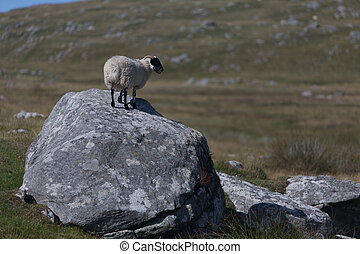 A solitary sheep standing on a boulder in South Uist in the...
