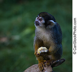 A spider monkey holding its food - A spider monkey holding a...