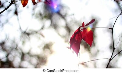 A ray of the sun on the red leaves of the wild grape