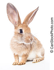 Red rabbit ( bunny )  isolated on a white background