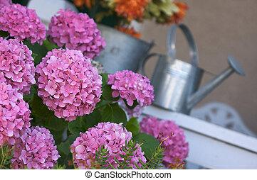 Beautiful Pink Hydrangea - Beautiful Hydrangea Blossoms on...