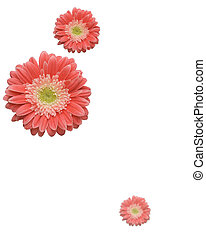 Falling Daisies - Falling Gerber Daisies with variable depth...