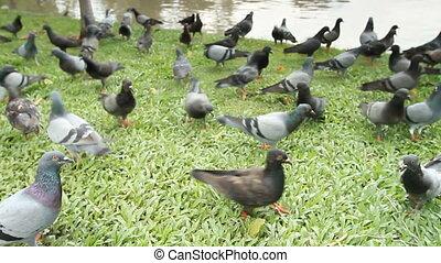 Pigeons in public parks.