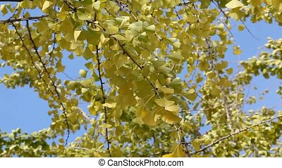 Ginkgo - Autumn, leaves of the ginkgo tree in fall