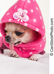 A dog with a pink sweater. - A chihuahua dressed in pink.