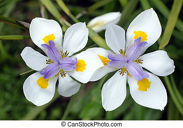 Fortnight Lily, Dietes iridioides - Originally from Kenya,...