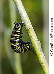 Monarch butterfly caterpillar moments before being a cancun.