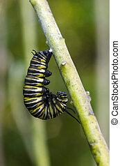 papillon, Monarque, chenille
