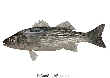 Seabass, Dicentrarchus labrax Isolated on the white...