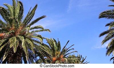 Blue sky and palm trees - Blue sky and palms waving in the...