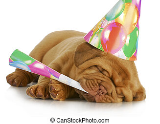birthday puppy - dogue de bordeaux puppy wearing hat and...