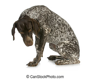bad dog - guilty looking german short haired pointer sitting...