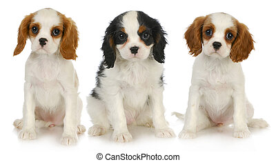 three puppies - litter of cavalier king charles spaniel...