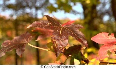 fall color closeup - A burgundy maple leaf surrounded by...