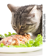 Scottish young cat - Beautiful Scottish young cat eating...
