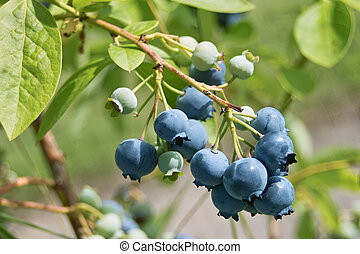 Ripening Blueberries - A side view of blueberries ripening...