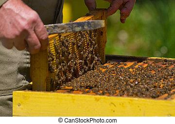 apiculteur, Rayon miel, abeilles, miel