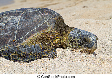 Resting on the beach - Juvenile Green Sea Turtle having a...