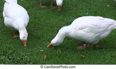 white domestic gooses eating grass